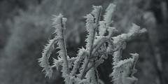 frozen nature 8067 (s.alt) Tags: nature natureunveiled frost winter ice rauhreif cold kalt morgen eiskristall kristallförmig vereist niederschlag hoarfrost whitefrost rime frostyrime frozen detail icecrystal frozennature macro blatt frosted