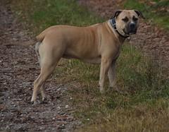 Marla dog (mikdm1) Tags: dogphotography bigdog dog lovedog mydog bullmastiff amstaff bandog dogpotrait