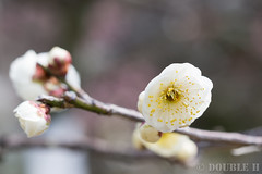 Ume blossoms at Nagaoka Tenmangu shinto shrine 2017.3 (11) (double-h) Tags: omd em10markii omdem10markii mzuikodigitaled60mmf28macro nagaokatenmangu shintoshrine shrine nagaokatenjin nagaokakyo nagaokakyocity kyoto 長岡天満宮 神社 長岡天神 長岡京 長岡京市 京都 ume umeblossom blossom flower japaneseapricot prunusmume plumblossom umetree 梅 ウメ 花 梅林