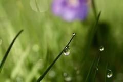 Good morning! (AngharadW) Tags: water drop violet garden angharadw macro sky grass flower caerdydd cymru cardiff wales