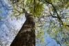 Bald Cypress (Herculeus.) Tags: auduboncenter beidlerforest clouds harleyville landscape southcarolina trees usa baldcyprus swamp 5photosaday