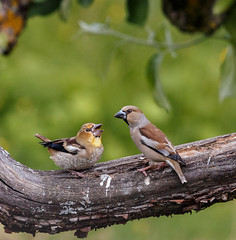 Give it to me, please... (Tom Dalhoy) Tags: summer bird norway female adult wildlife young finch trunk feed juvenile beatiful hawfinch 500px ifttt