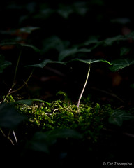 On the forest floor (catt1871) Tags: macro evening ivy rutland ketton