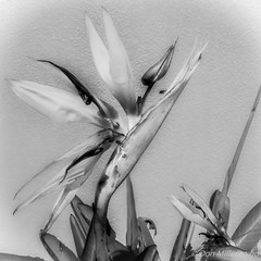 Bird of Paradise (DonMiller_ToGo) Tags: flowers blackandwhite bw nature photoshop flora florida g5 birdofparadise hdr bwphotography blackandwhitephotography flowersplants 5xp hdrphotography 5exposures