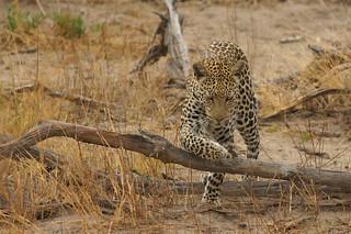 Master of Stealth in action: Leopard in Okavango Delta, Botswana