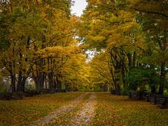 Mellow Yellow (Bert CR) Tags: trees fall yellow colorful wind fallcolors dreary olympus fallfoliage mellowyellow roadway grayday uninspiring cedarfence strongwinds e620