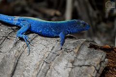 Lagartija azul (Tato Avila) Tags: animal colombia sombra vida tronco islas texturas