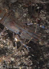 Common prawn.Trefor pier night dive. (hsacdirk) Tags: macro wales night pier north diving menai d3 trefor