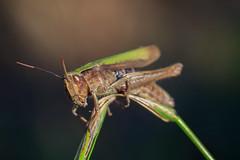 Les yeux dans les yeux (StephanExposE) Tags: insecte bug sauterelle macro macrophotographie nature campagne marestsurmatz oise france stephanexpose canon 600d 100mm 100mmf28lmacroisusm jardin garden