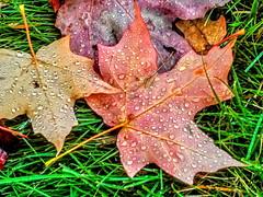 autumn leaves (angelinas) Tags: autumn macro nature leaves landscapes outdoor montreal natura autumnleaves fallfoliage raindrops naturelovers outdoorlife beautifulearth autumnlovers