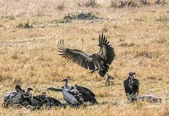 Vulture fightin (ssilberman) Tags: bird tanzania flying kill safari vulture fighting october2015 restorationsafaris