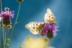 Papillons 3 (Maxime Bonzi) Tags: photo france queyras flowers flower image arvieux hautes fleur montagne butterfly papillon pics alpes vallée verdoyant herbe fleurs herbes