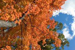 The soft curls in the sky (laskaproject) Tags: blue autumn trees red sky sun sunlight toronto canada color green fall nature water beautiful crimson leaves yellow clouds contrast forest season outdoors gold leaf maple pond woods scenery colorful bright fallcolors branches vivid sunny lookingup evergreen brickworks canopy cluds donvalley ladscape sulights