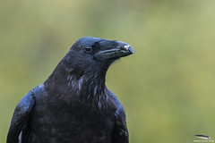 Scooby the Raven (Mick Erwin) Tags: park eagle 300mm and vulture raven f28 scooby gauntlet d810