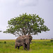 Tanzania, Mara, Serengeti National Park, african elephant (loxodonta africana) in front of baobab tree (adansonia digitata)