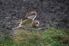 Velduil - Short-eared Owl - Asio flammeus-3351 (Theo Locher) Tags: netherlands birds nederland vogels vogel oiseaux shortearedowl asioflammeus sumpfohreule hiboudesmarais velduil copyrighttheolocher