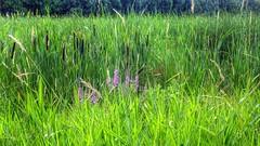 (mahler9) Tags: green nature weeds july jaym 2013 mahler9