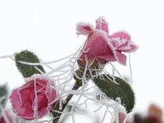 Frozen (marchetti.erika) Tags: frozen flower fiori inverno rosa ghiaccio freddo