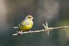 Timide (Jacques GUILLE) Tags: 09 ariège carduelischloris domainedesoiseaux europeangreenfinch fringillidés mazères passériformes verdierdeurope bird oiseau