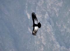 DSC_0484_0468.jpg (svendesmet) Tags: 3500mhoog condors colcacanyon mannetje cruzdelcondor
