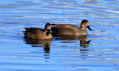 Gadwalls (Wolfram Burner) Tags: birds aves delta ponds eugene oregon lane county ducks park wetlands wolfram burner
