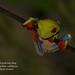 Red-eyed tree-frog, Agalychnis callidryas