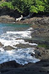 wave action (BarryFackler) Tags: honaunaubay southkona hawaii bigisland outdoor nature water waves 2016 honaunau ocean polynesia saltwater island sea bay hawaiianislands tropical westhawaii kona pacificocean shore beach coast lavarock coastal littoral log driftwood foam spray rocks rocky honaunaubeachpark ecology pacific life konacoast hawaiicounty hawaiiisland aquatic barronfackler barryfackler marine