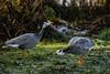 Bar-headed geese (PChamaeleoMH) Tags: barheadedgeese centrallondon london stjamesspark