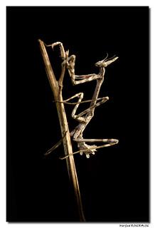 Empuse commune - Empusa pennata - Diablotin de Provence - Low-Key