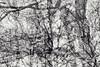 Twelfth Disintegration (pni) Tags: monochrome tree trunk branch multiexposure multipleexposure tripleexposure helsinki helsingfors finland suomi pekkanikrus skrubu pni