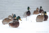 Winter snow walk! (P & Y Photography) Tags: nature animal bird duck flock lake snow winter snowing flurry flurries fun funny playing white canon 5d3 5diii 70200 2xiii