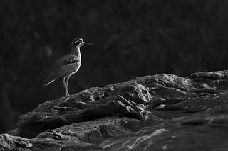 Thick knee on the rocks