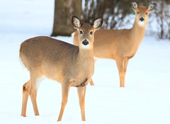 white-tailed deer does at Lake Meyer Park IA 854A3675 (lreis_naturalist) Tags: whitetailed deer does lake meyer park winneshiek county iowa larry reis
