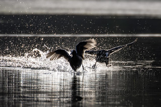 Coot Chase