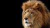 the king (megasakura_17) Tags: lion king cat majesty animals wildlife zoo safari africa kitty unitedstatesofamerica