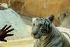 Tigre blanco (alvarGlz) Tags: animal tigre tigreblanco zoologico chilpancingo chilpo mexico guerrero canon canonphotos photo photography love flickr