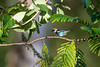 High center (Khurram Khan...) Tags: goldenhoddedtanager tanager wildlife wildlifephotography naturephotography naturephotos wwwkhurramkhanphotocom khurramkhan wild costarica iamnikon ilovenature ilovewildlife