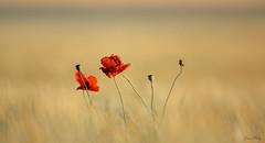 Coquelicot (joanethery) Tags: coquelicot papaver champs field rouge jaune céréales plaine
