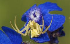 Thomisus onustus (.....Christian Ferrer.....) Tags: thomisus onustus spider araignée aude occitanie macro portlanouvelle saintelucie