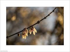 Wintersweet (John Penberthy LRPS) Tags: d750 flowersandplants johnpenberthy kewgardens nikon wintersweet chimonanthuspraecox