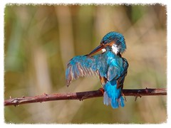 Blauet - Martín pescador - Kingfisher - Alcedo atthis (aurearamon) Tags: blauet olympus birds bird aves ave micro43 lumix100300f456 alcedoatthis flix kingfisher