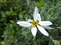 Chiliotrichum diffusum (Linda DV (away)) Tags: 2016 geotagged lindadevolder travel southamerica argentina patagonia lumix panasonic chile torresdelpaine asteraceae flower chiliotrichumdiffusum ribbet whiteflower