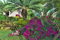 Bougainvillea (ronmcmanus1) Tags: antigua 3star flowers landscape nature outdoors sunsetsunrise caribbean