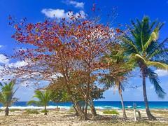 Almond tree in the Creek area (Simone Scott) Tags: almondtree thecreek caymanislands caymanbrac
