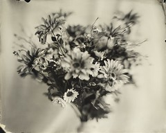 ambrotype - flowers fine art (ImagingCube) Tags: wetplate wetplatephotography wetplatecollodion wet plate collodion collodionprocess collodionphotography alternativeprocess alternative fineart ambrotype ambrotypes glassnegative