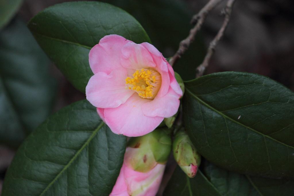 the world 39 s best photos of camellia and fleur flickr. Black Bedroom Furniture Sets. Home Design Ideas
