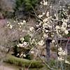 Plum blossom 2 (mitsumine_884) Tags: rolleiflex35fplanar rollei rolleiflex toyota 豊田 aichi 愛知 japan 日本 fuji fujifilm fujicolor pro400h