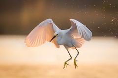 Snowy Evening (gseloff) Tags: snowyegret bird flight bif sunset feeding horsepenbayou pasadena texas kayakphotography gseloff