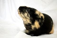 Titi (Mariie76) Tags: animaux cochon dinde cobaye mignon noir beige rongeur museau en lair