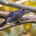 Fasciated Antshrike (Eric Gofreed) Tags: canopytower fasciatedantshrike panama